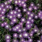 USA SELLER Floribunda Stardust Ice Plant 50 seeds