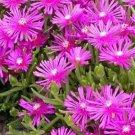USA SELLER Table Mountain Ice Plant 50 seeds