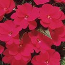 USA SELLER Walleriana Baby Scarlet Impatiens 25 seeds