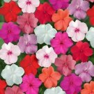 USA SELLER  Elfin XP Clear Mix Impatiens 25 seeds