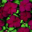 USA SELLER  Sun & Shade Cranberry Impatiens 25 seeds