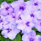 USA SELLER Walleriana Extreme Lavender Impatiens 25 seeds