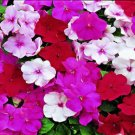 USA SELLER Walleriana Accent Peppermint Mix Impatiens 25 seeds