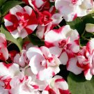 USA SELLER Walleriana Athena Red Flash Impatiens 25 seeds