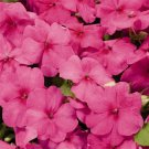 USA SELLER  Walleriana Advantage Rose Impatiens 25 seeds