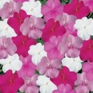 USA SELLER  Walleriana Super Elfin XP Seaside Mix Impatiens 25 seeds