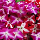 USA SELLER  Walleriana Accent Star Mix Impatiens 25 seeds