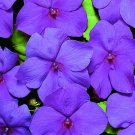 USA SELLER  Walleriana LoGro Violet GL Impatiens 25 seeds