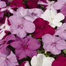 USA SELLER  Walleriana Tempo Wedgewood Mix Impatiens 25 seeds