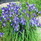 USA SELLER Missouriensis Wild Blue Iris 25 seeds
