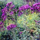 USA SELLER Ironweed 25 seeds