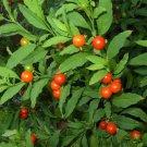 USA SELLER Jerusalem Cherry 25 seeds