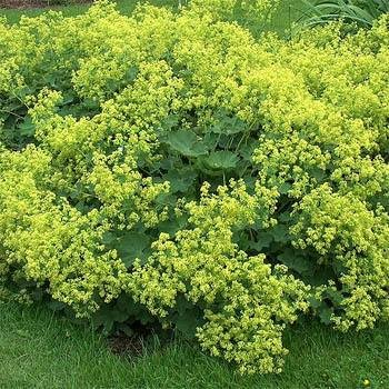 USA SELLER Lady's Mantle 25 seeds