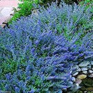 USA SELLER Blue Catmint 25 seeds