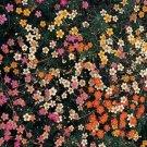 USA SELLER Leptosiphon Mix 100 seeds