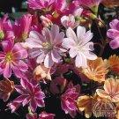 USA SELLER Lewisia Sunset Strain 25 seeds