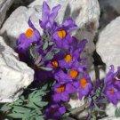 USA SELLER Linaria Alpina 25 seeds