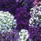 USA SELLER Riviera Series Lobelia 100 seeds