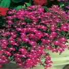 USA SELLER Rosamond Lobelia 100 seeds