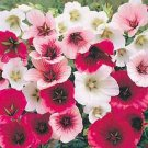 USA SELLER Annual Mallow Mix 25 seeds