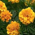 USA SELLER Calando Apricot Marigold 25 seeds