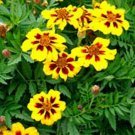 USA SELLER Single Dainty Marietta Marigold 25 seeds