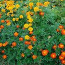 USA SELLER Patula Mix Marigold 25 seeds