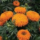 USA SELLER Tall Sierra Orange Marigold 25 seeds