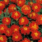 USA SELLER Double Brocade Red Marigold 25 seeds