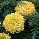 USA SELLER Tall Sierra Yellow Marigold 25 seeds