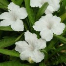 USA SELLER Mexican Petunia White 10 seeds