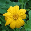 USA SELLER Mexican Sunflower Yellow 10 seeds