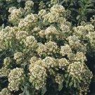 USA SELLER Mignonette Machet 50 seeds