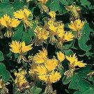 USA SELLER Canary Creeper Nasturtium 25 seeds
