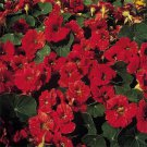 USA SELLER Double Gleam Mahogany Nasturtium 25 seeds