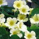 USA SELLER Moonlight Nasturtium 25 seeds