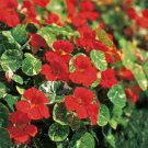 USA SELLER Variegated Double Gleam Scarlet Nasturtium 25 seeds