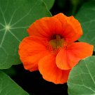 USA SELLER Spitfire Nasturtium 25 seeds