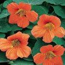USA SELLER Vesuvius Nasturtium 25 seeds