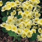 USA SELLER Yeti Nasturtium 25 seeds