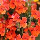 USA SELLER Nemesia Orange Prince 100 seeds