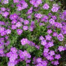 USA SELLER Purple Robe Nierembergia 100 seeds