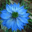 USA SELLER Love in the Mist Blue 100 seeds