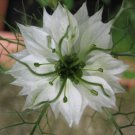 USA SELLER Love in the Mist White 100 seeds