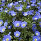 USA SELLER Chilean Bellflower Blue 100 seeds