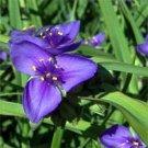 USA SELLER Ohio Spiderwort  50 seeds