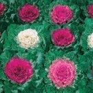 USA SELLER Ornamental Cabbage Mix 15 seeds