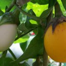 USA SELLER Golden Eggs Ornamental Eggplant 15 seeds