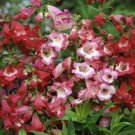 USA SELLER Scarlet Queen Penstemon 100 seeds