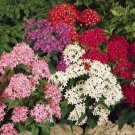 USA SELLER Egyptian Starcluster Mix (Pentas) 100 seeds